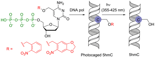 Chemical biology of base-modified nucleic acids